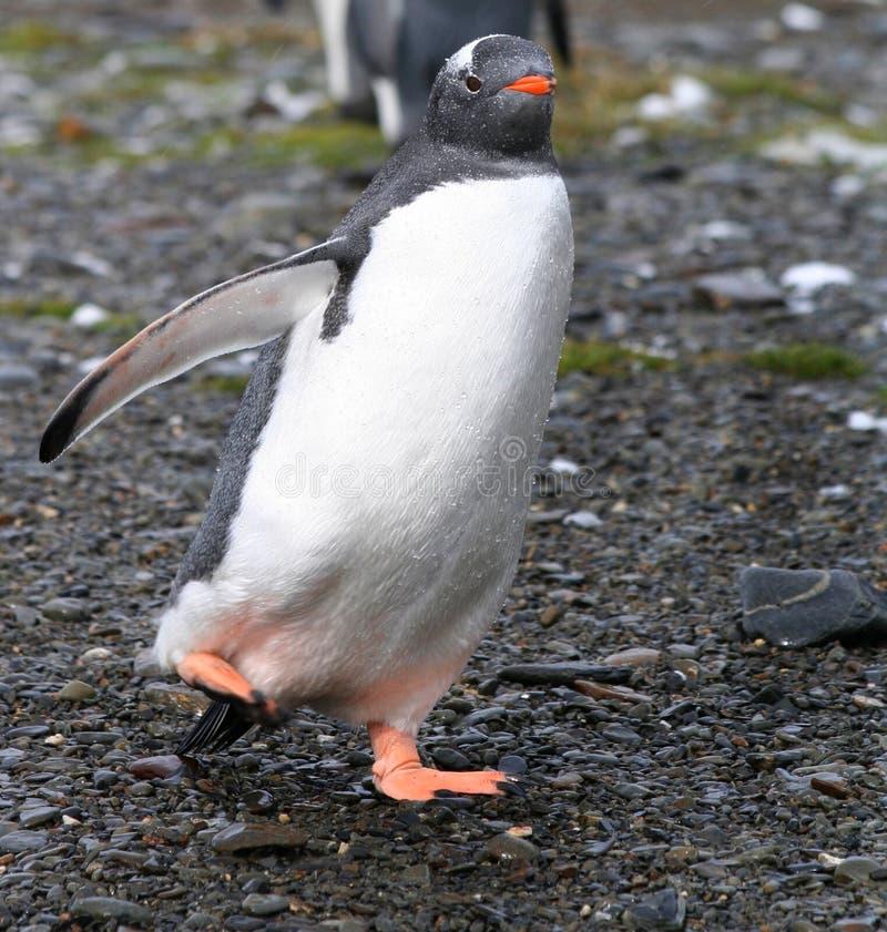 Pinguim Waddling do gentoo fotografia de stock royalty free