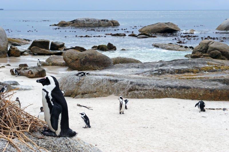 pinguin image stock