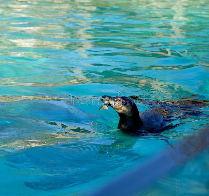 Pinguin, der Fische isst, während, schwimmend in einem lokalen Pool während eines Frühlingsnachmittages lizenzfreies stockfoto