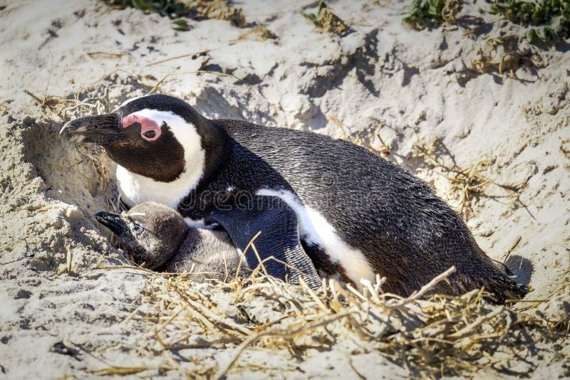 Pinguin, der in seinem Nest mit Küken stillsteht lizenzfreies stockbild