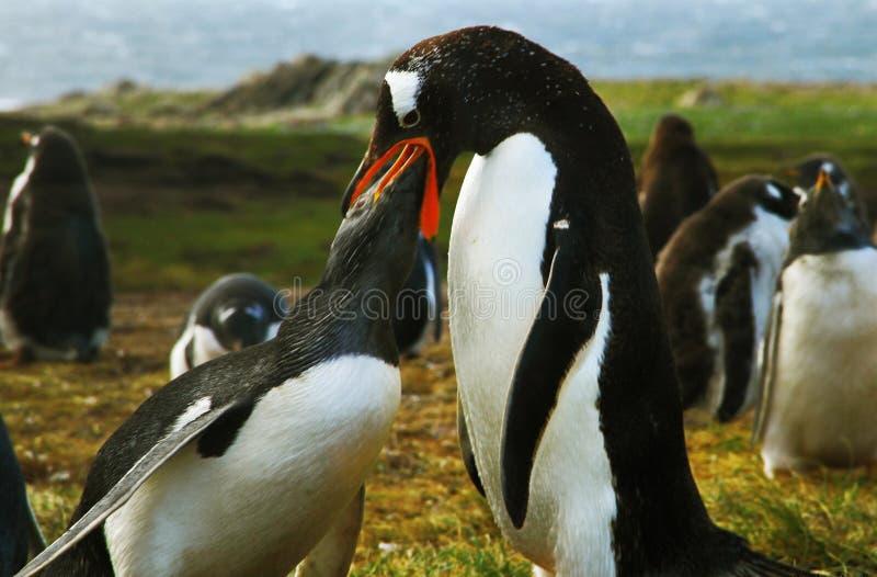 Pinguin-Fütterungsbaby stockfotografie