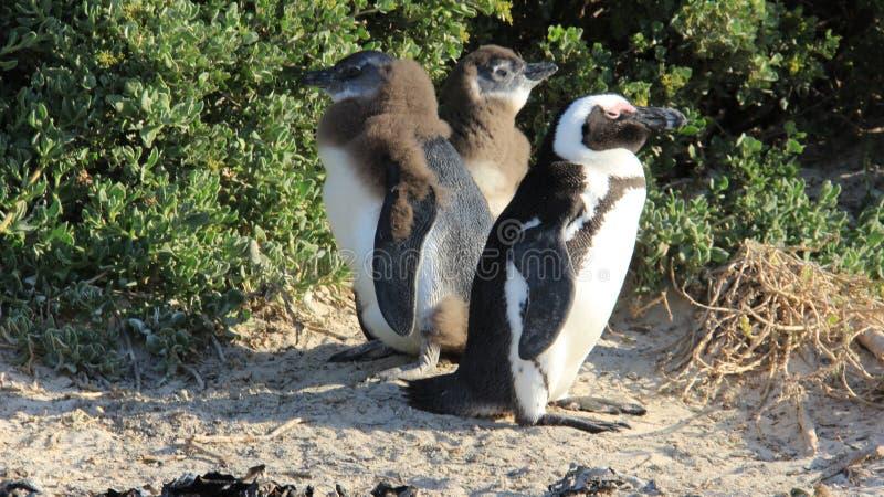 Pinguin-Familie, die in der Natur-Freiheit des Lebens lebt lizenzfreie stockfotografie