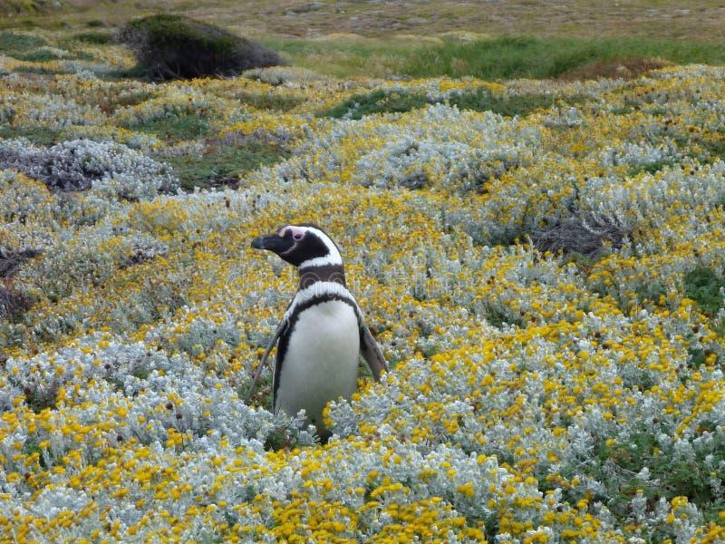 Pinguin i en gräsplan- och gulingmossa i otway reservation för seno i chile royaltyfria bilder