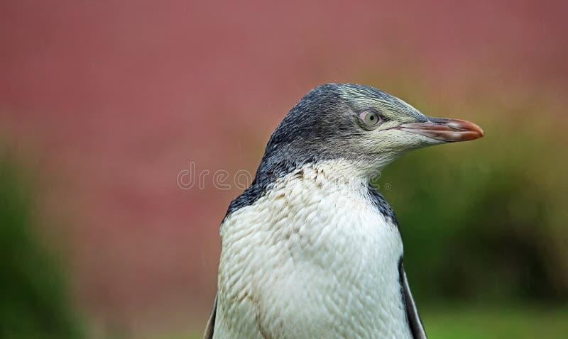 Pinguin im rechten Profil stockbilder