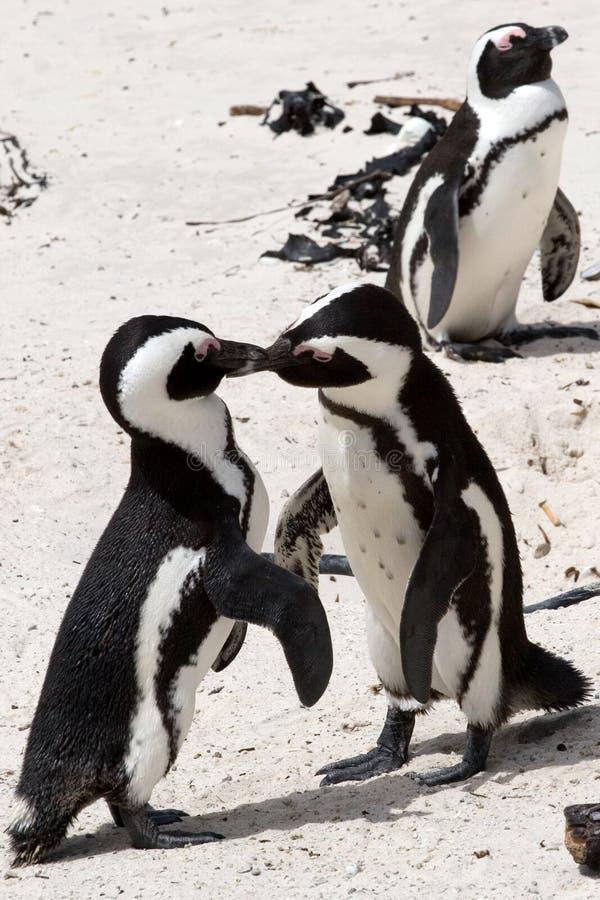 Pinguin Kämpfen stockfotos