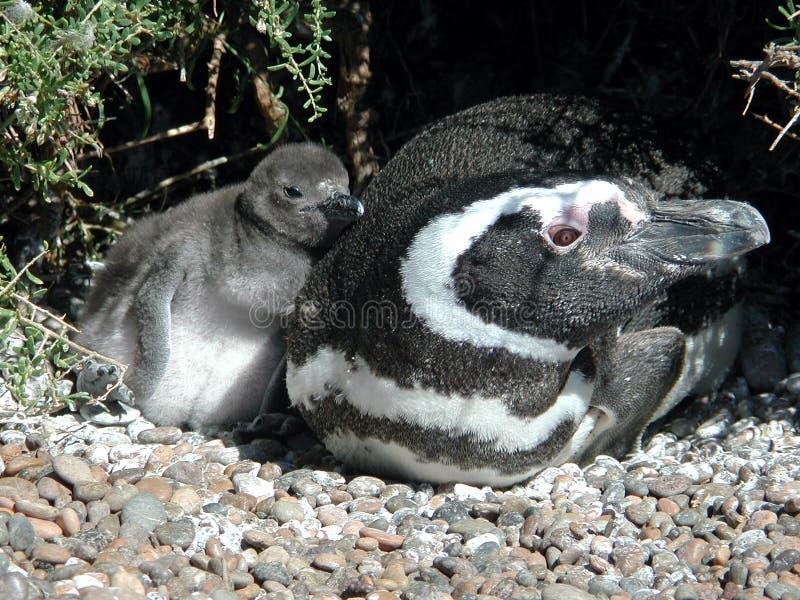 Pinguin Mit Küken Stockfotos
