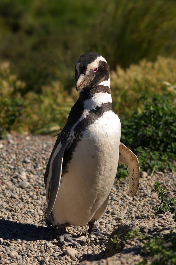 Pinguin nella natura immagini stock libere da diritti