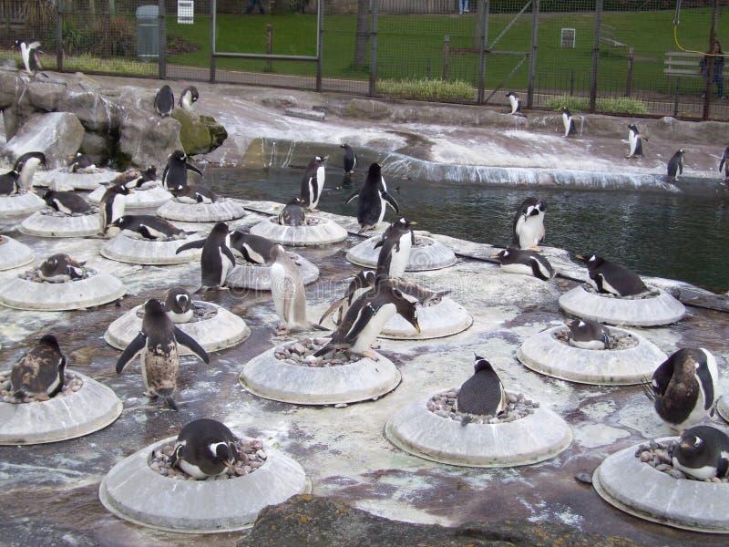 Pinguin-Pool lizenzfreies stockbild