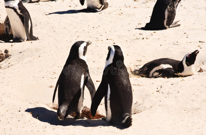 Download Penguins couple stock photo. Image of group, africa, conservation - 22693988