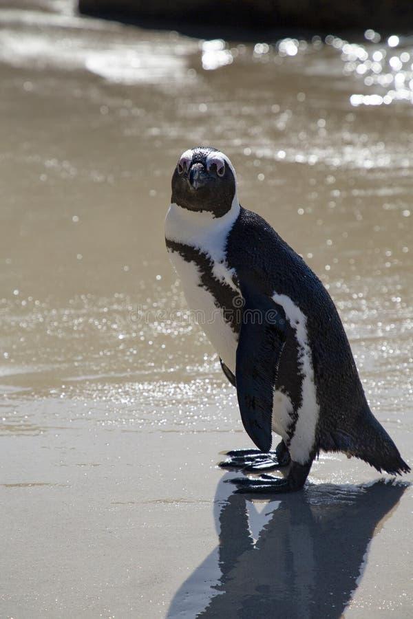 Pinguin-Strand lizenzfreie stockfotografie