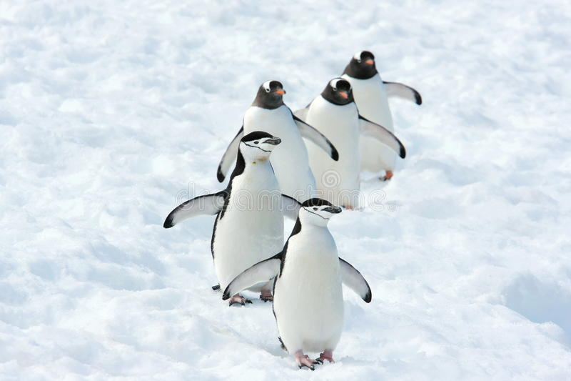 Pinguin-Team lizenzfreie stockfotos