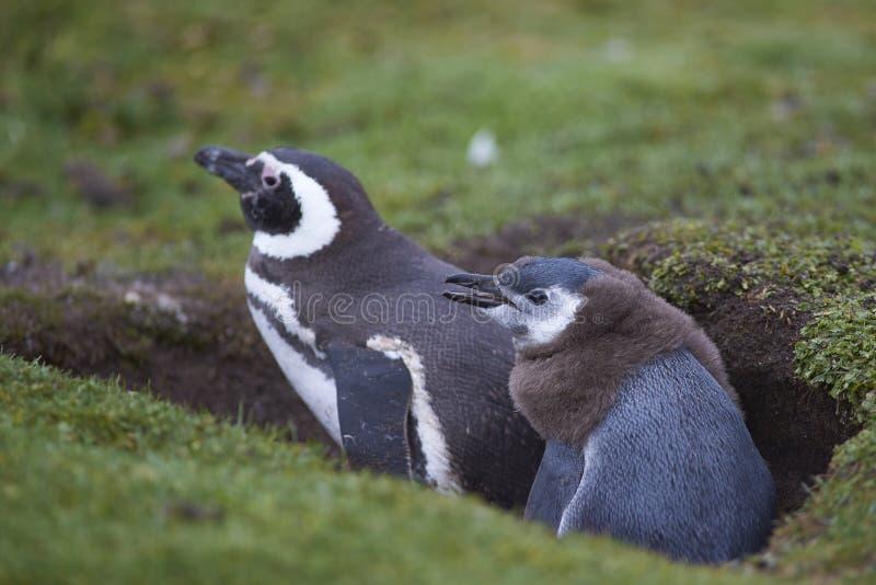 Pinguin und Küken Magellanic auf Falkland Islands stockfoto
