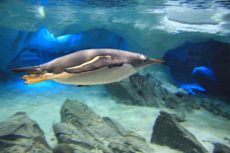 Pinguin unter Wasser Seitegesicht lizenzfreie stockbilder