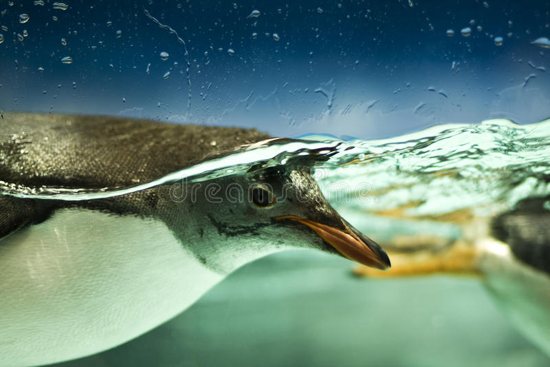 Pinguin Unterwasser stockbild