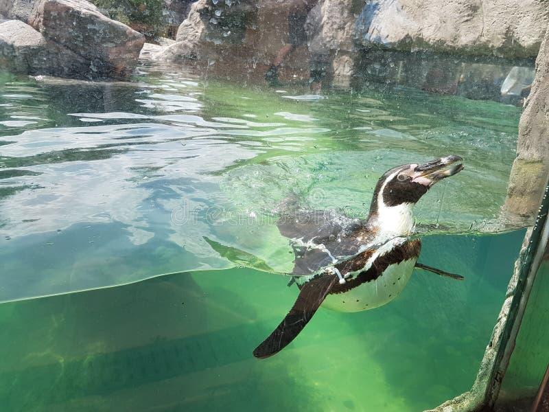Pinguin in water stock afbeeldingen