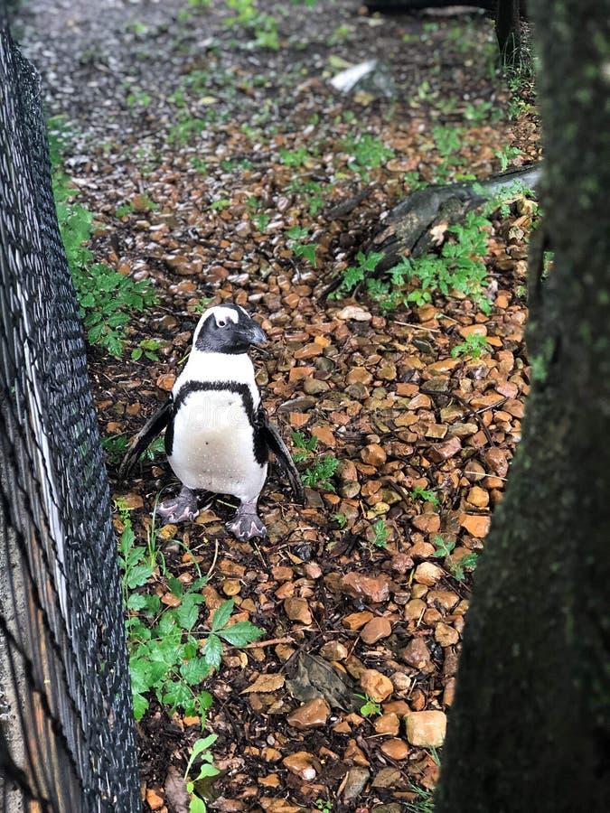 Pinguin-Zoo stockfotografie