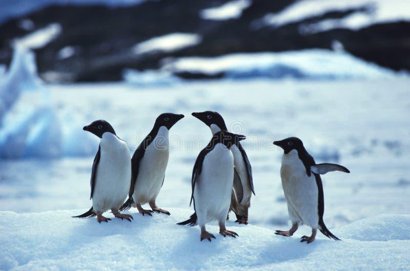 Pinguine stockbilder