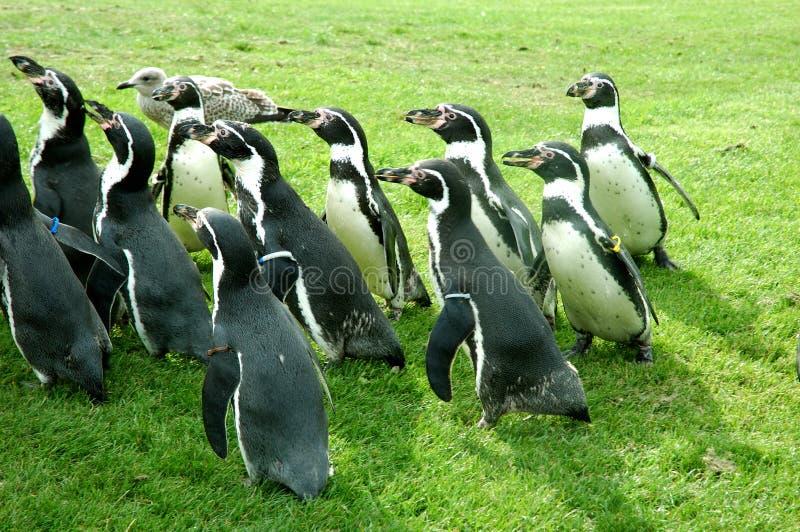 Pinguine lizenzfreies stockbild