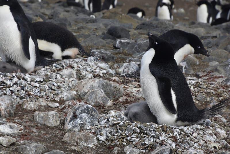 Pinguine in Antarktik lizenzfreies stockfoto