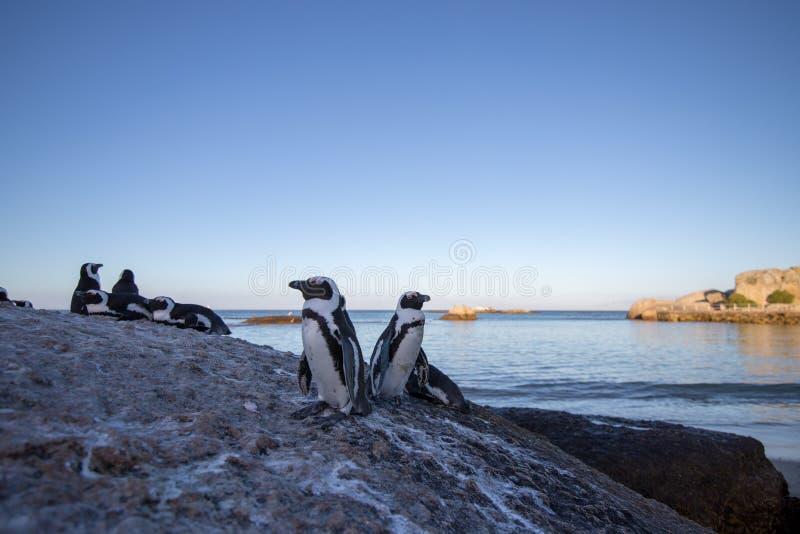 Pinguine auf Felsen lizenzfreie stockfotografie