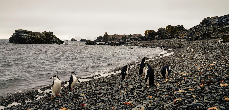 Pinguine Chinstrap und Gentoo, die aus den Ozean auf Täuschungsinsel in der Antarktis herauskommen stockfotos