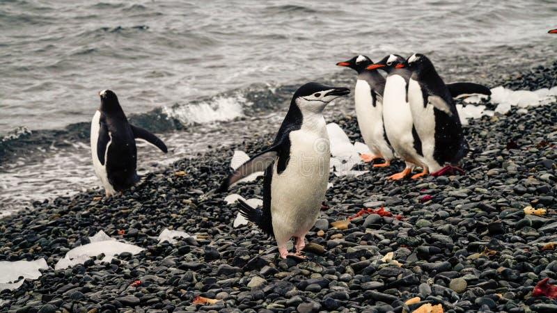 Pinguine Chinstrap und Gentoo, die aus den Ozean auf Täuschungsinsel in der Antarktis herauskommen stockfotografie
