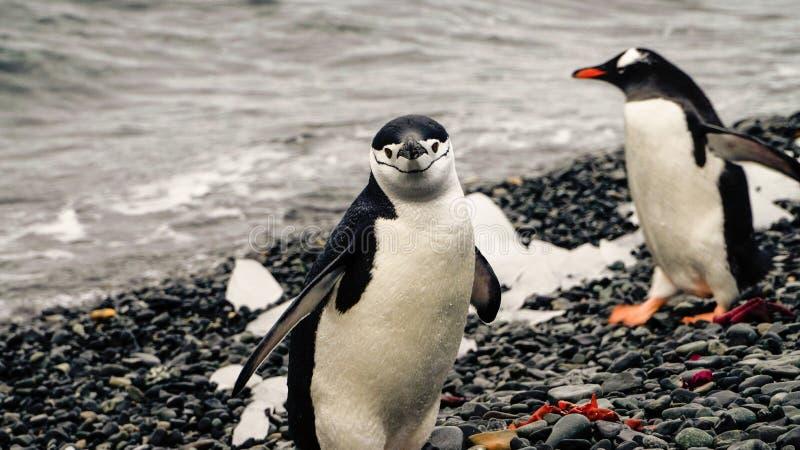 Pinguine Chinstrap und Gentoo, die aus den Ozean auf Täuschungsinsel in der Antarktis herauskommen lizenzfreie stockbilder