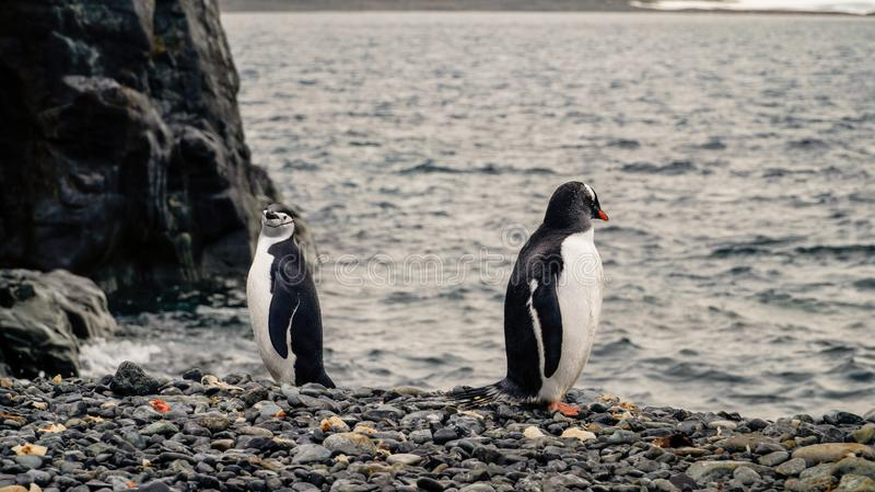 Pinguine Chinstrap und Gentoo, die aus den Ozean auf Täuschungsinsel in der Antarktis herauskommen lizenzfreies stockbild