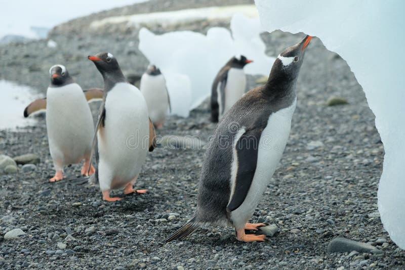 Pinguine der Antarktis Gentoo, die Süßwasser von schmelzendem Eisberg trinken lizenzfreie stockfotos