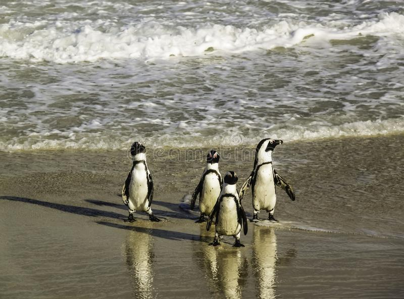 Pinguine, die unbeholfen an Boulders Strand gehen lizenzfreie stockfotos