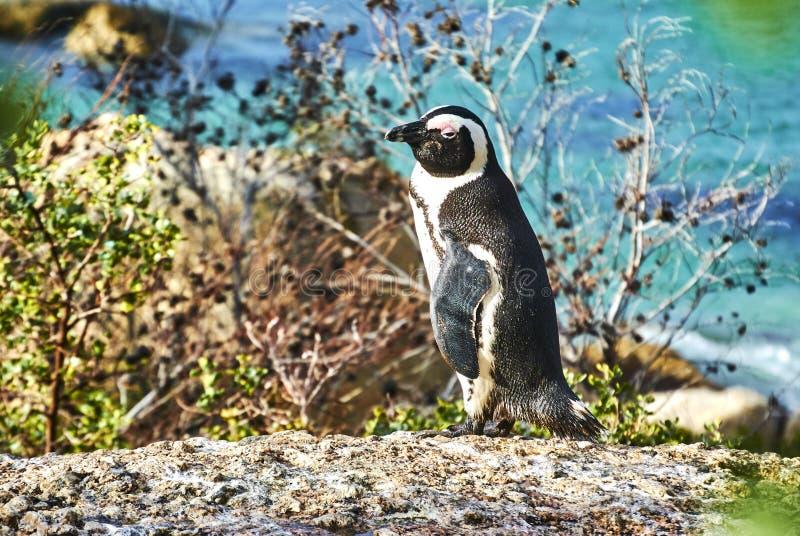 Pinguine im boulder& x27; s-Strand Kapstadt Südafrika mit Küste lizenzfreie stockbilder