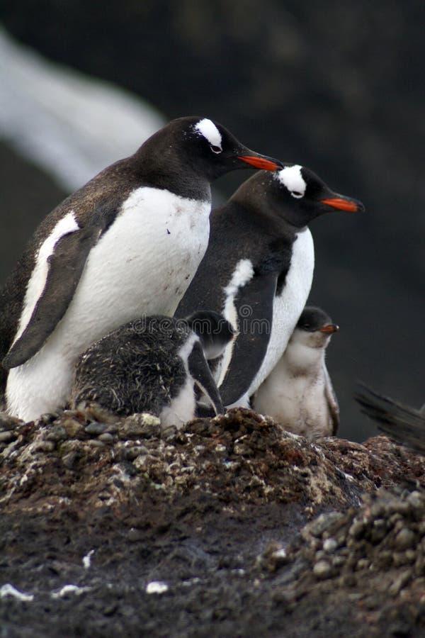 Pinguine mit Küken in der Antarktis lizenzfreies stockbild