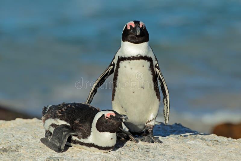 Pinguini africani fotografie stock libere da diritti