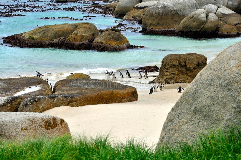 Pinguini africani alla spiaggia dei massi fotografia stock libera da diritti