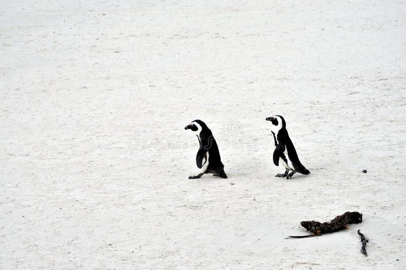 Pinguini africani alla spiaggia dei massi fotografie stock libere da diritti