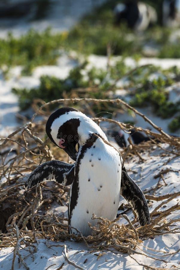 Pinguini africani alla spiaggia dei massi fotografia stock