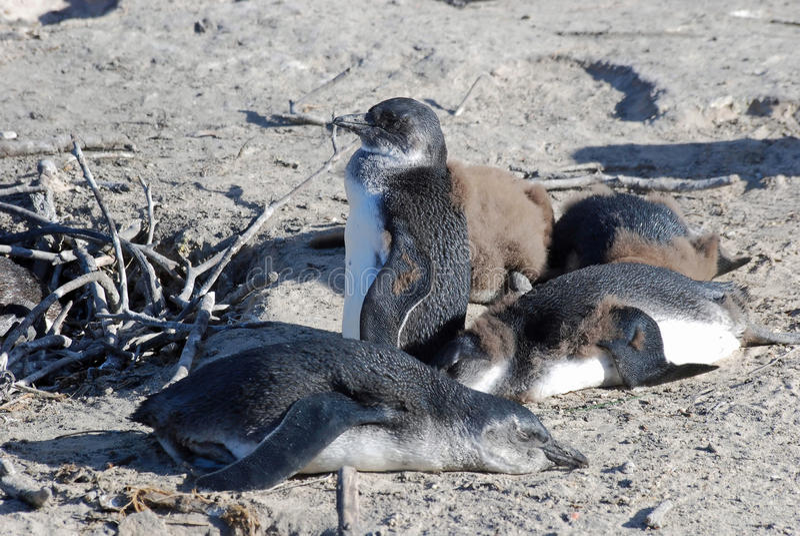 Pinguini africani, città del Simon, Sudafrica fotografie stock