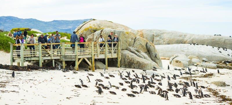 Pinguini africani sulla spiaggia dei massi nel Sudafrica fotografia stock
