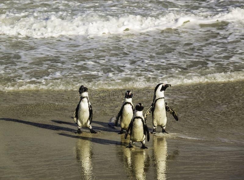 Pinguini che camminano impacciato alla spiaggia di Boulder fotografie stock libere da diritti