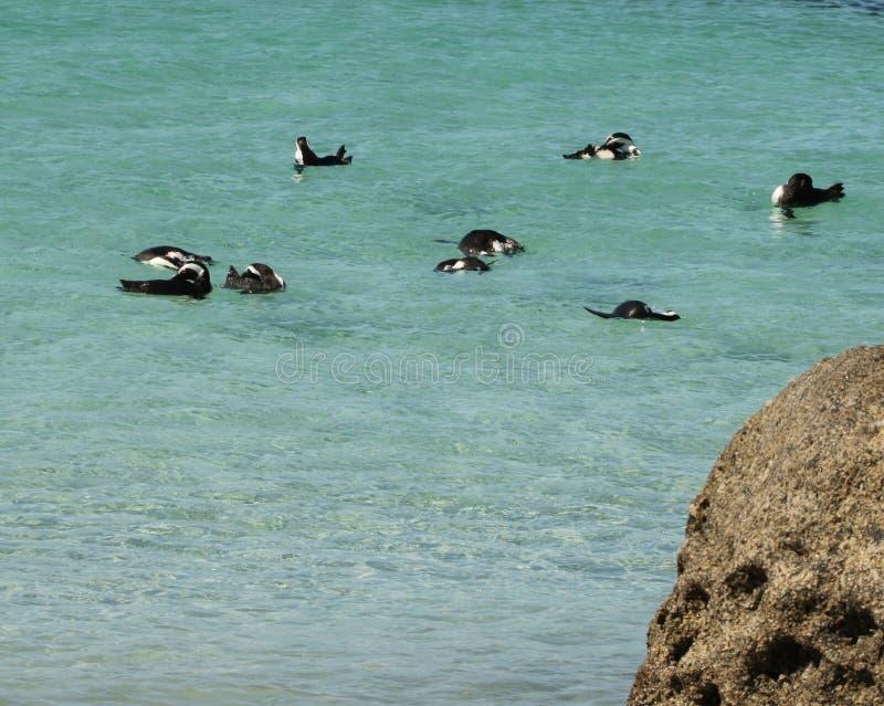 Pinguini che nuotano fuori dalla spiaggia dei massi fotografia stock libera da diritti