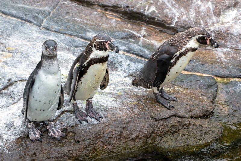 Pinguini curiosi di Humboldt fotografie stock