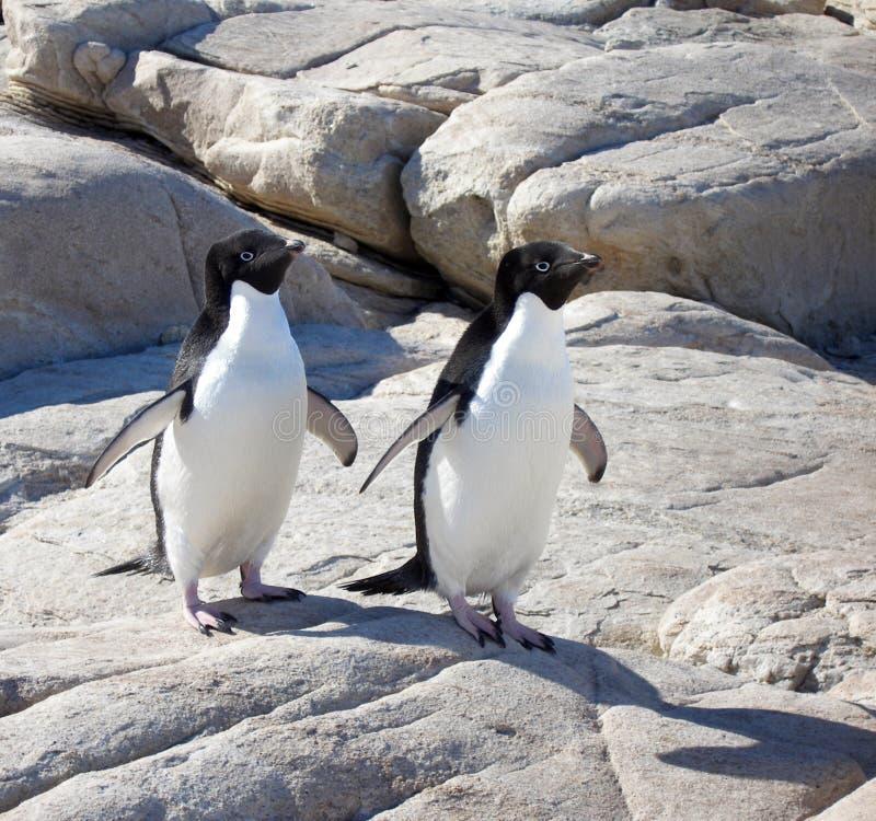 Pinguini del Adelie fotografia stock