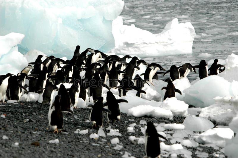 Pinguini del Adelie fotografia stock libera da diritti