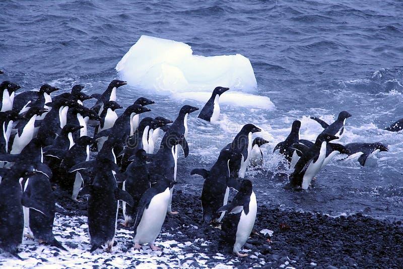 Pinguini del Adelie, saltanti nell'oceano fotografia stock