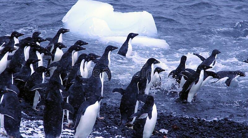 Pinguini del Adelie, saltanti nell'oceano immagini stock libere da diritti