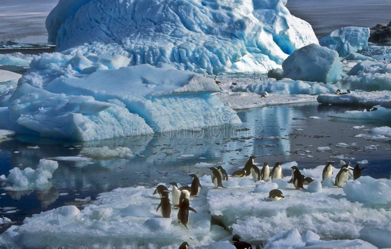 Pinguini del Adelie su ghiaccio, Antartide immagine stock libera da diritti
