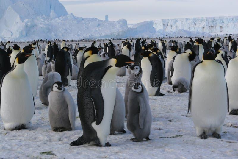 Pinguini dell'imperatore fotografia stock