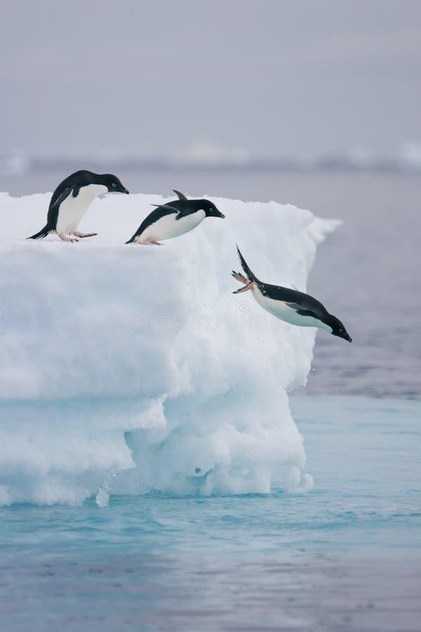 Pinguini di Adelie che saltano fuori dall'iceberg fotografie stock libere da diritti