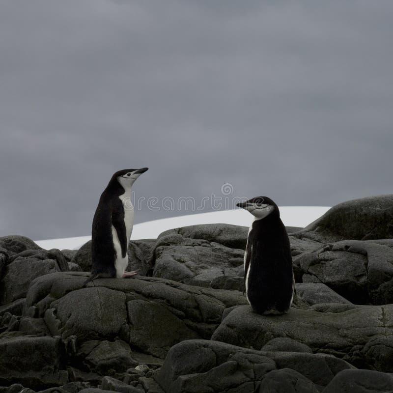 Pinguini di Chinstrap, Antartide. immagine stock