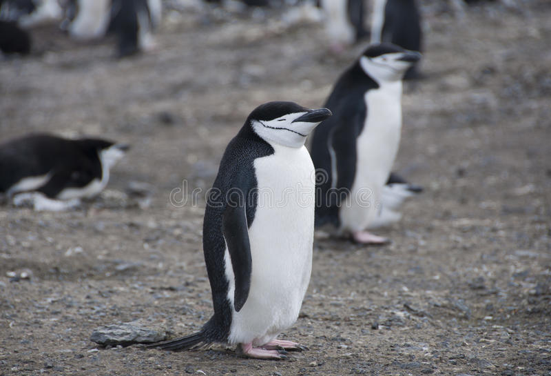 Pinguini di Chinstrap in Antartide fotografie stock libere da diritti